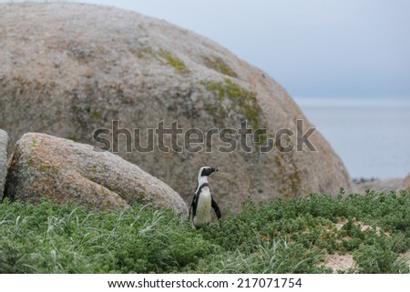 african penguins at Boulder Beach in Simon Town, South Africa