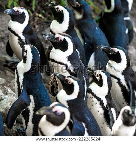 African penguins at the zoo in Warsaw. Poland - stock photo