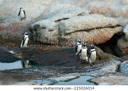 African penguins in twilights. African Penguin (spheniscus demersus) , National Park, Boulders, South Africa   - stock photo