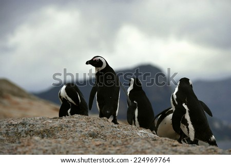 African penguins in twilights on the boulder. African Penguin (spheniscus demersus) , National Park, Boulders, South Africa  - stock photo