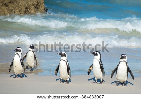 African penguins just getting out of the water at Boulder Beach outside Cape Town, South Africa