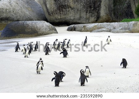 African penguins (spheniscus demersus) at the Beach. South Africa   - stock photo