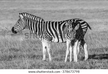 african plains zebra on the dry brown savannah grasslands browsing and grazing - stock photo