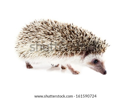 African pygmy hedgehog (Atelerix albiventris) walks on a white background