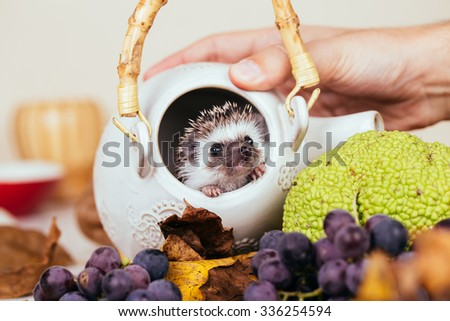 African pygmy hedgehog baby in a kettle. Selective focus. - stock photo