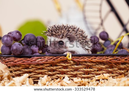 African pygmy hedgehog baby playing in a wooden basket and eating grape. - stock photo