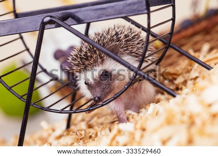 African pygmy hedgehog baby playing with a wheel.  Focus on hedgehog's head. - stock photo
