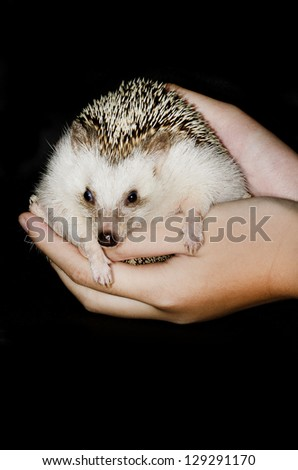 african pygmy hedgehog on hands