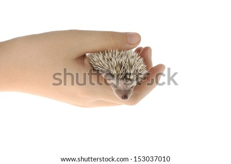african pygmy hedgehog sleeping in hand - stock photo