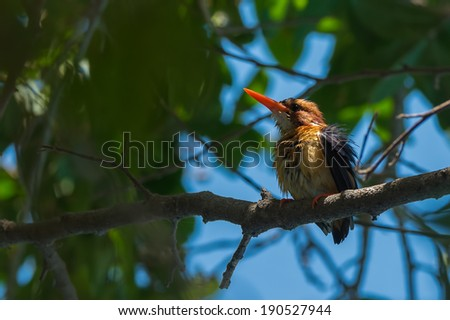 African Pygmy Kingfisher (Ispadina picta) drying after a bath - stock photo