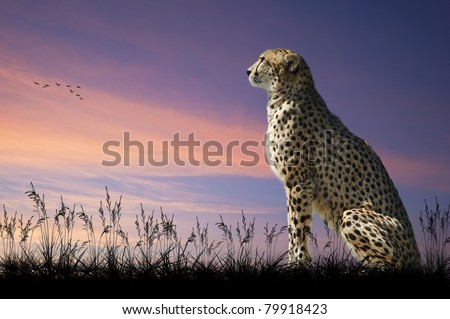 African safari concept image of cheetah looking out over savannah with beautiful sunset sky - stock photo