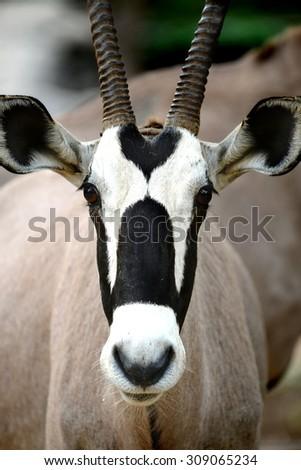 African Safari Oryx Gazella or Gemsbox Antelope head  - stock photo