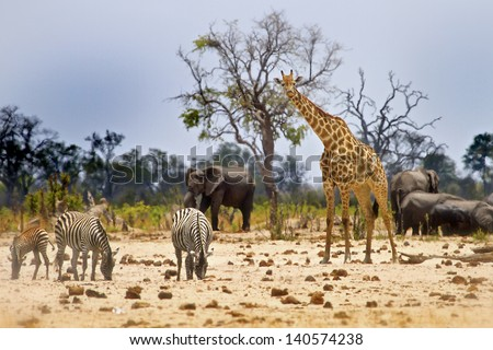 African Scene from Camp with Zebra, Giraffe and elephant - stock photo