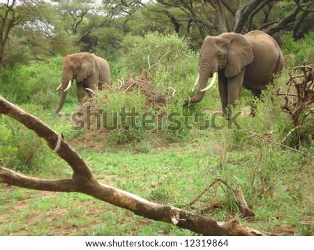 African Scenic - elephant - stock photo