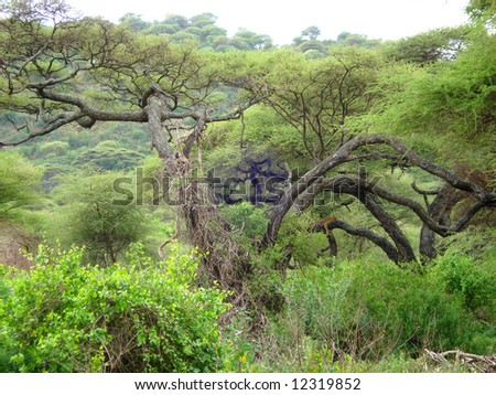 African Scenic - Lion on the tree - stock photo