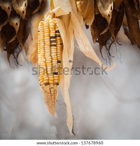 African seed corn husk from homestead - stock photo