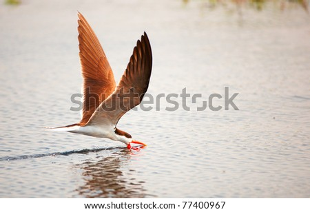 African Skimmer (Rynchops flavirostris) in flight catching food from the river in Botswana - stock photo
