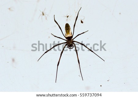 African spider the size of a hand stretched on its web
