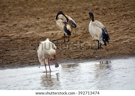 African spoonbill and sacred ibises, Lake Nakuru National Park, Kenya