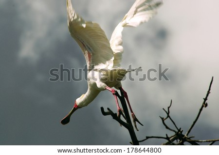 African Spoonbill in Casamance, Senegal, Africa - stock photo