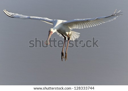 African Spoonbill in flight.