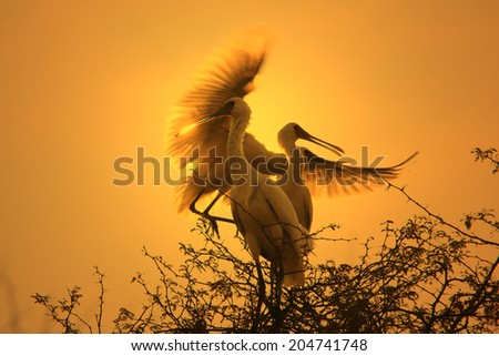 African Spoonbill Stork - Wild Bird Background from Africa - Nature's unique wildlife  - stock photo