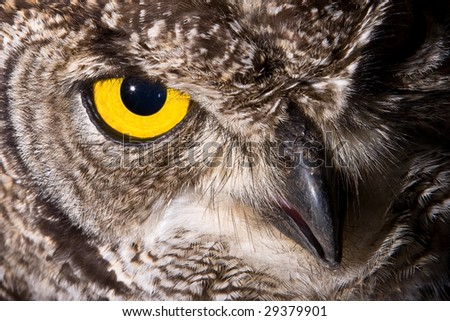 African Spotted Eagle Owl with large piercing yellow eyes in macro portrait