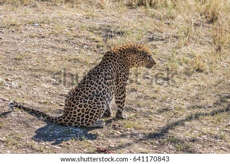African spotted leopard resting after feeding. Large predator in the savannah. Travel to Namibia. The concept of exotic and extreme tourism
