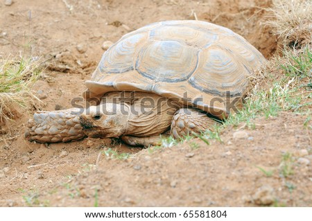 African Spur Thigh Tortoise (Sulcata Tortois); captive; Rancho Texas Zoo, Lanzarote, Canary islands, Spain - stock photo