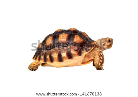 african spurred sulcata of white background - stock photo