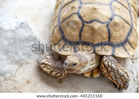 African spurred tortoise  - stock photo