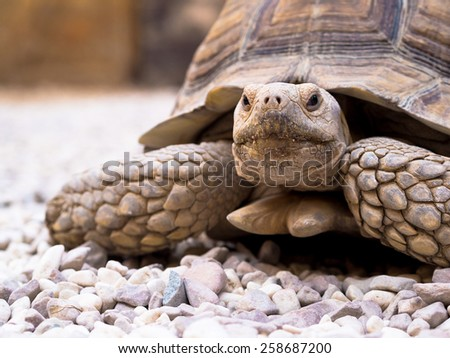 African spurred tortoise closeup. This Sulcata tortoise inhabits of Sahara desert, in northern Africa and Arabian desert in Egipt.  - stock photo