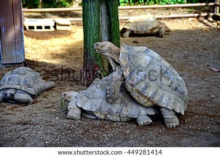 African spurred tortoise / Geochelone sulcata - stock photo