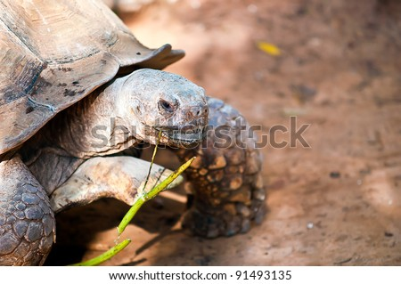 African spurred tortoise (Geochelone sulcata), also called the African spur thigh tortoise  or the sulcata tortoise, is a species of tortoise which inhabits the southern edge of the Sahara desert .