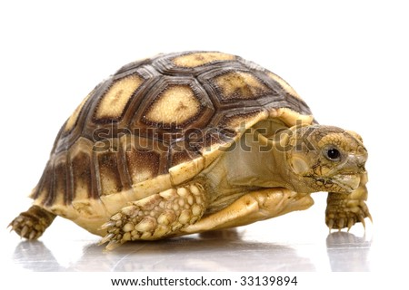 African Spurred Tortoise (Geochelone sulcata) isolated on white background. - stock photo