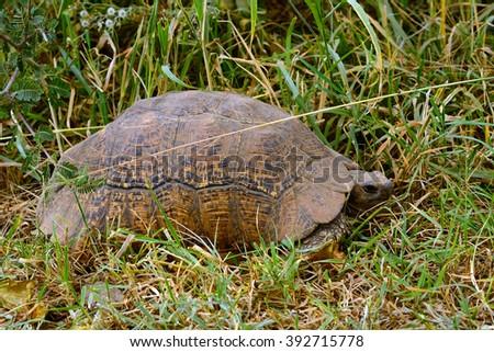 African spurred tortoise, Lake Nakuru National Park, Kenya - stock photo