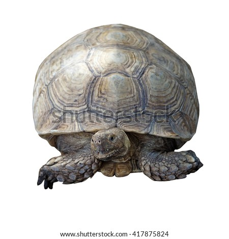 african spurred tortoise or geochelone sulcata isolated on white background - stock photo
