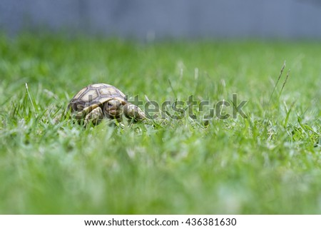 african spurred tortoise or geochelone sulcate on grass - stock photo