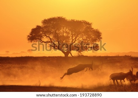 African Sunset - Golden Background of Nature - Wildlife Wonder and Action of Africa - stock photo