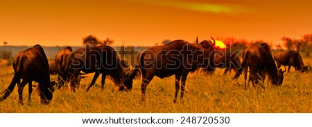 African sunset with Blue Wildebeests - Maasai Mara National Park in Kenya, Africa - stock photo
