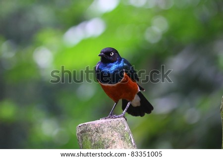 African Superb Starling (Lamprotornis superbus) looking right