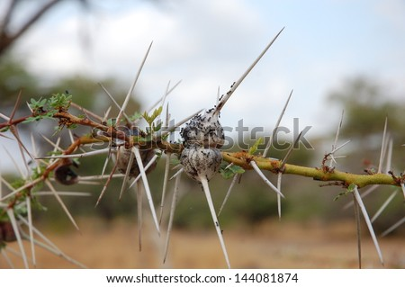 African Thorn - stock photo