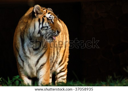 African tiger at the zoo - stock photo