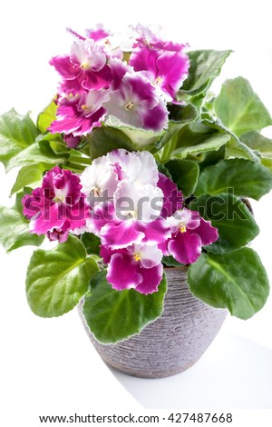 African Violet (Saintpaulia ionantha) beautiful flowers home plant in pot on white background  - stock photo
