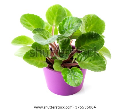African Violet (Saintpaulia ionantha) young plant in purple pot close-up isolated on white background  - stock photo