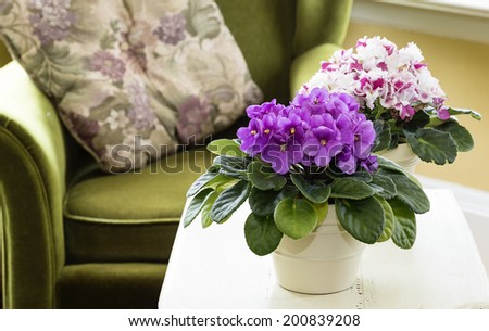 African violets in a home setting - stock photo