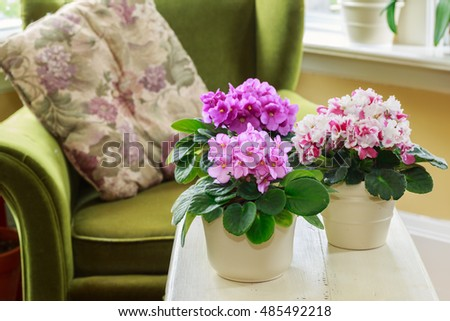 African violets in a home setting