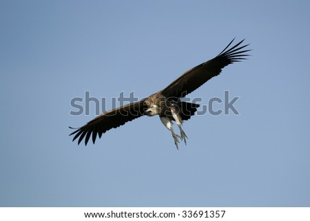African Vulture gliding down to kill to feed - stock photo