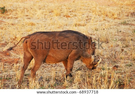 african warthog - stock photo