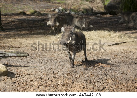 African warthog looking at camera with more warthogs in the background - stock photo